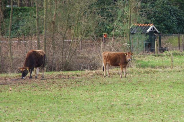 15. Koeien