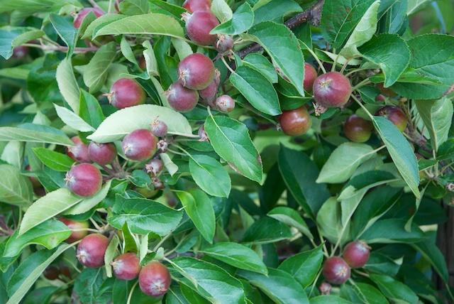 23. Appels