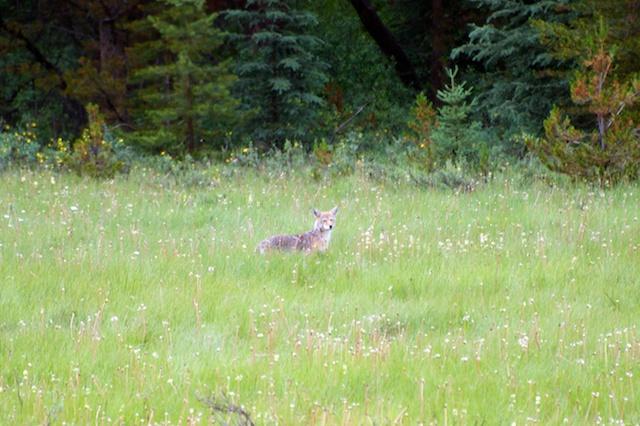 786. Coyote