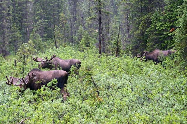 803. Moose
