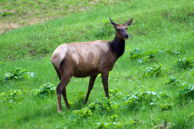 811. Elk