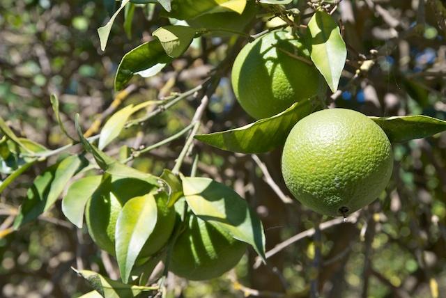102. Sinaasappel