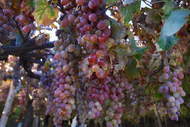 436. Druiven