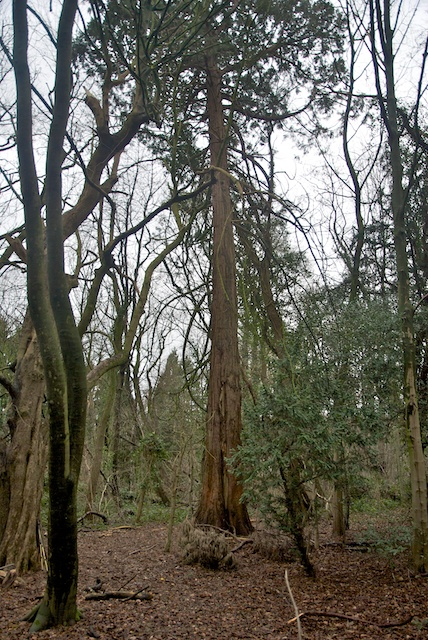16. Sequoia