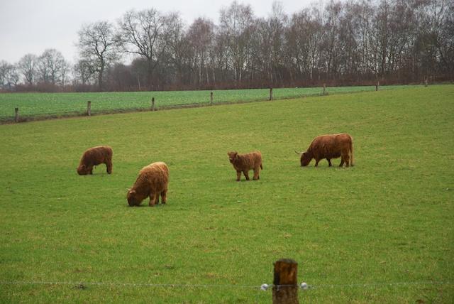 12. Schotse Hooglanders