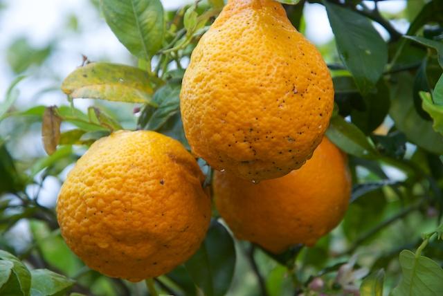 371. Sinaasappelen