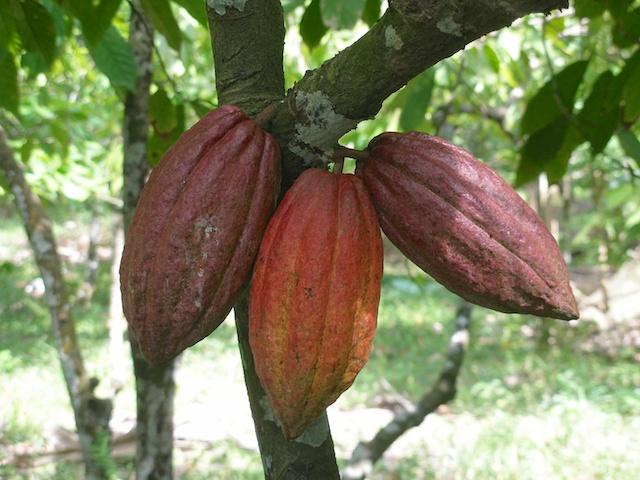 275. Cacao