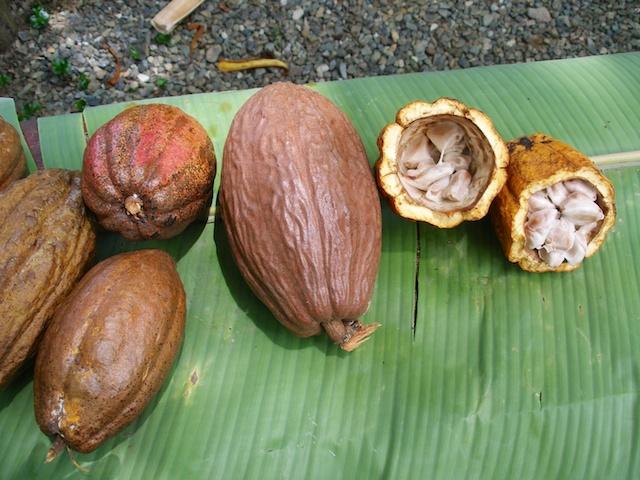 276. Cacao