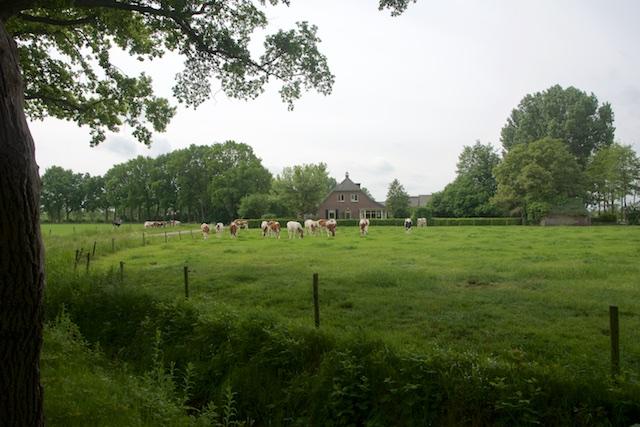 10. Koeien