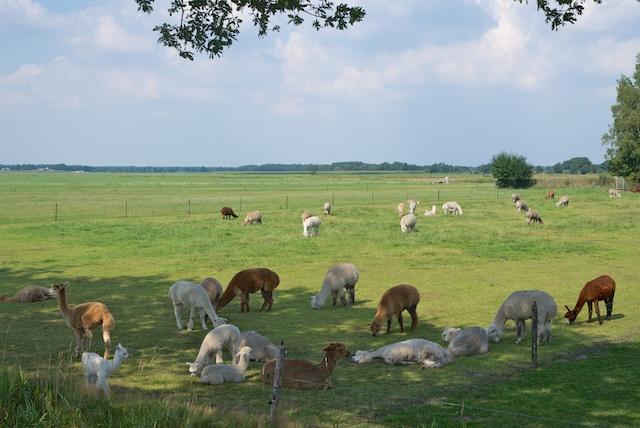 37. Lamas