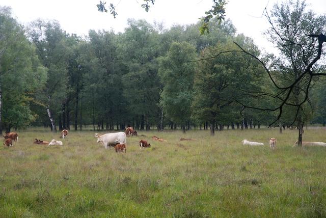 44. Koeien
