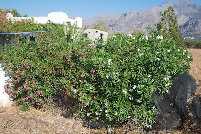 161. Oleander