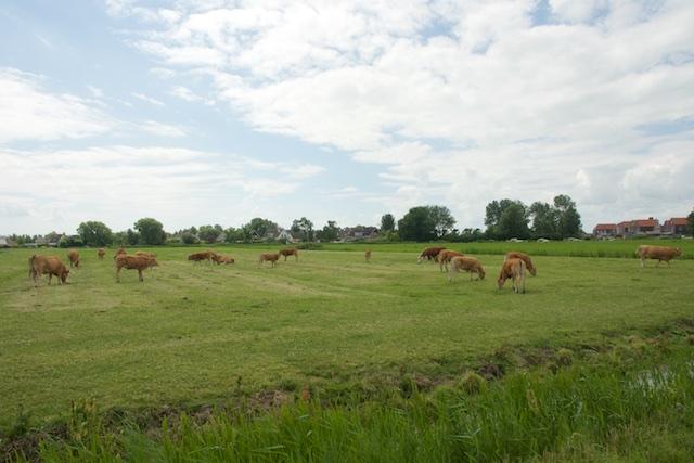 38. Limousin