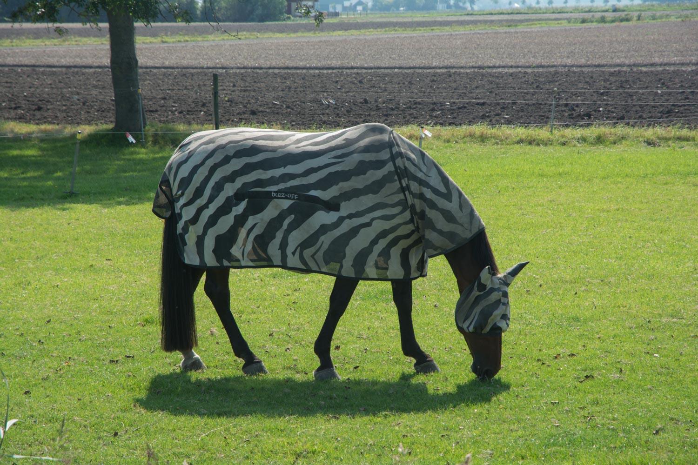 53-zebra