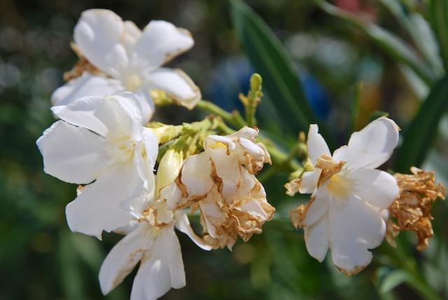 177. Oleander