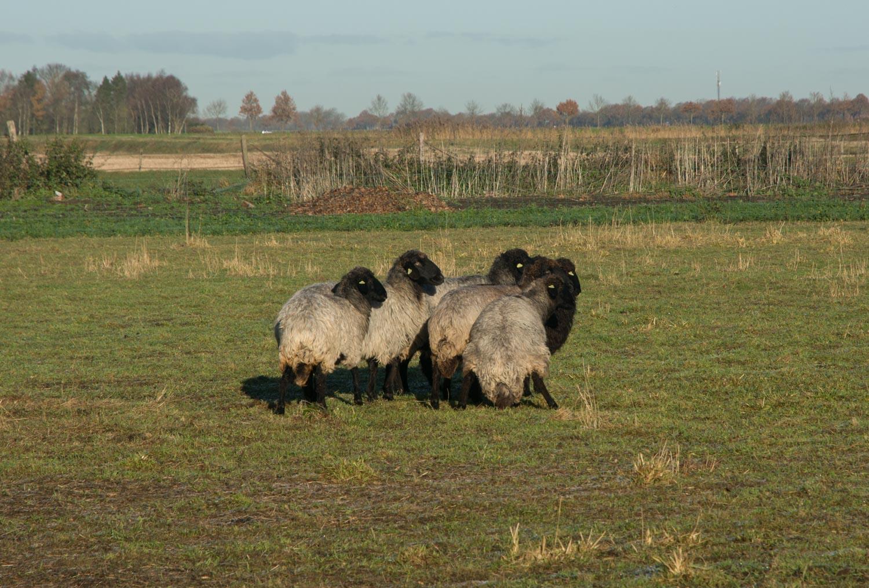 75-schapen